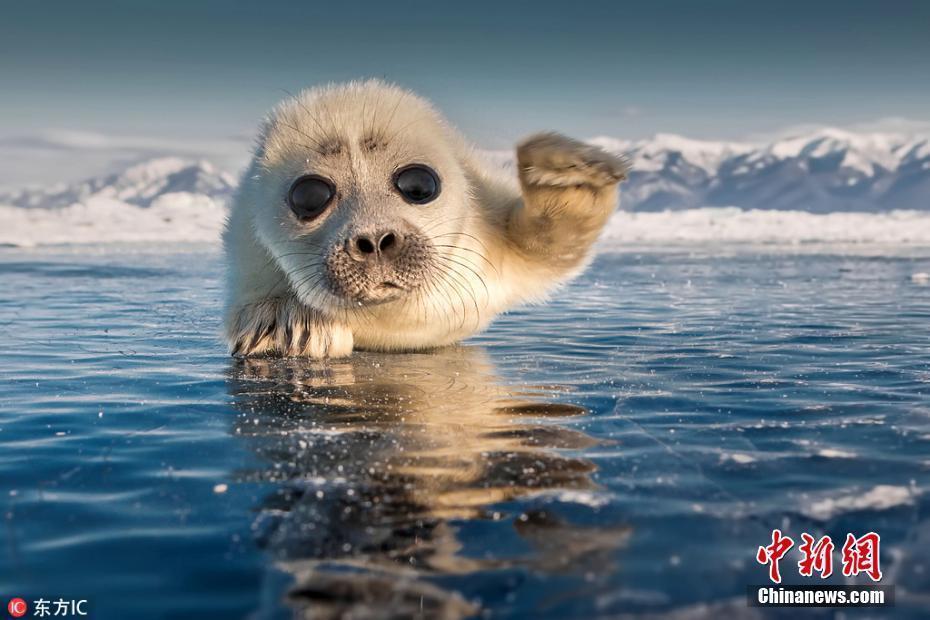 大眼小海豹趴在冰上卖萌 对镜头招手致意
